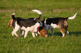 Two dogs smelling grass